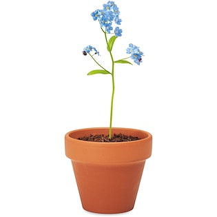 Plante Forget Me Not